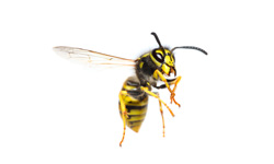 European Wasps