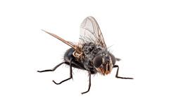 Annoying Flies