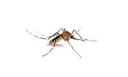Annoying Mosquito