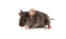 Annoying Mice