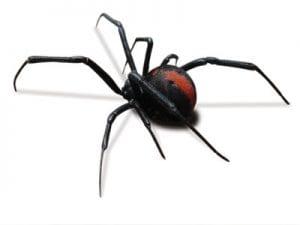 Redback Spider Female