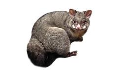Smelly Possums