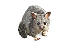 Noisy Possums