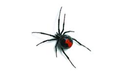 Dangerous Redback Spider